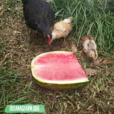 New chickens eating watermelon for first time